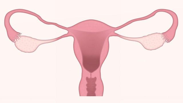 מערכת הרבייה אצל האישה - קורס פיזיולוגיה שיעור 16