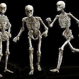 חלוקת השלד כל 206 העצמות בגוף האדם - שיעור 1